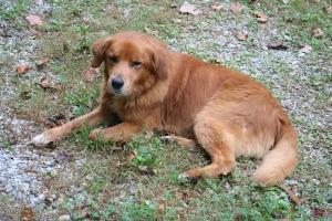 Cooper, the Hambidge dog.
